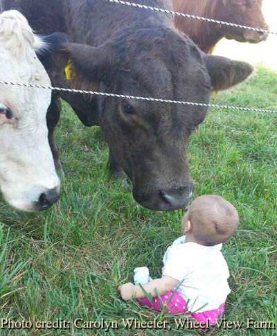 Grass fed beef bull and baby